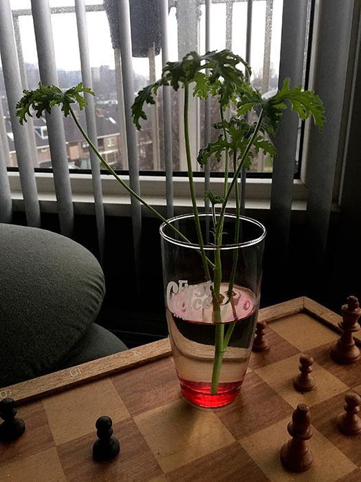 Sweet Scent Geranium